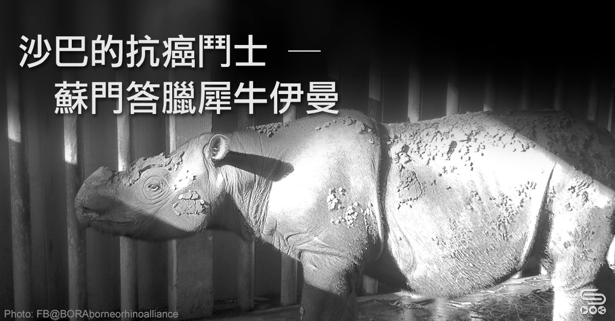 沙巴的抗癌鬥士 — 蘇門答臘犀牛伊曼
