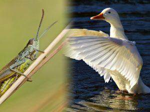 鴨子可治蝗蟲